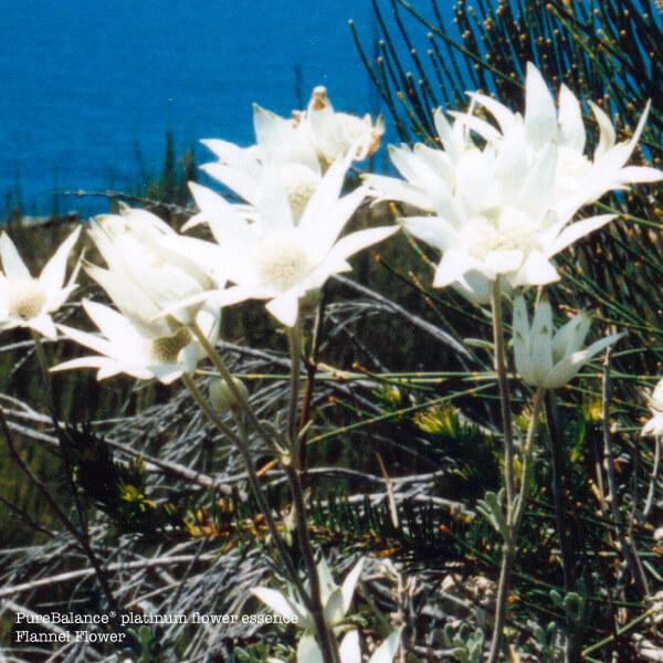 Flannel Flower Essence